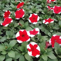 50 seeds/ bag rare petunia seeds mixed flower seeds Courtyard garden plant - $2.79