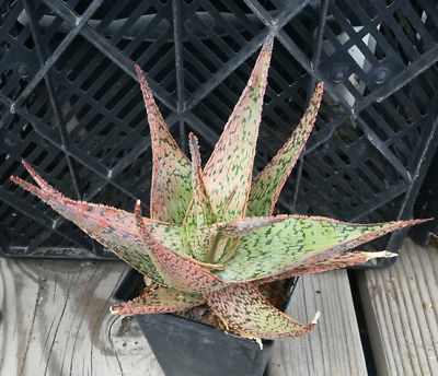 Aloe hybrid 41 Textured Leaf Edges Succulent Plants All Included