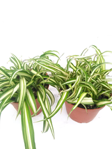 2 Live Plants Ocean Spider Plant Easy to Grow Great Houseplant growing i... - $26.30