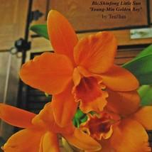 Rth. Shinfong Little Sun 'Youngmin Golden Boy' 3 1/4'' Pot T652 - $35.85