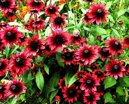 200pcs Very Lovely Cherry Dark Red Black Eyed Coneflowers Echinacea Seeds - $16.88