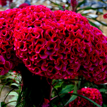 40 Giant Head Shaped Cockscomb Seed Celosia Cristata Garden Flowers  - $13.58