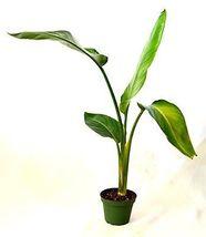 """White Bird of Paradise 4"""" Pot Full Sun Plant Tree Garden Hoseplant Best ... - £29.63 GBP"""