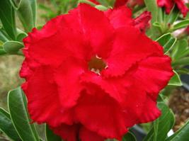 2pcs Very Graceful Adenium Obesum Red Dragon Desert Rose Flowers Seeds IMA1 - $14.96