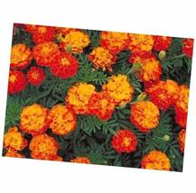 French Marigold 75 Seed French Marigold Sparky Mix - $4.84