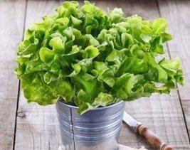 2000 Seeds of Non Gmo Green Oak Leaf Lettuce - $18.81