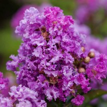 DARK PURPLE CREPE MYRTLE Bushes Trees Rooted Flowing Crape 2 Live Plant  - $47.99