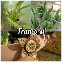 Sukkulenten Ascleps 1pflanze Stapelia ORBEA VARIEGATA Ordensstern Aasblume - $8.17