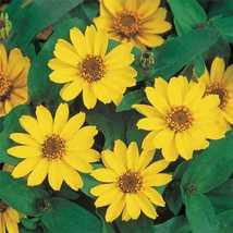 Zinnia Yellow Flower Seeds - $4.49