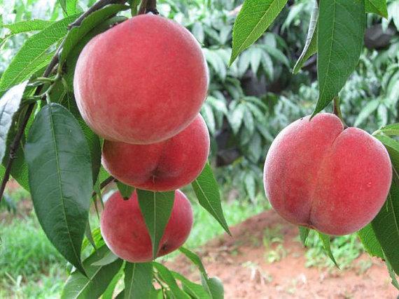 Orangic 16 Seeds Peaches Pink Flower Sweet Peach Fruit Tree Seeds image 1