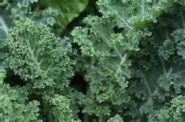 500 Dwarf Blue Curled Scotch Kale seeds New seed Non-Gmo,Heirloom - $10.00