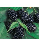 Blackberry Plant - 'Chester' thornless - Rubus fruticosa (It's not seeds) - $27.11