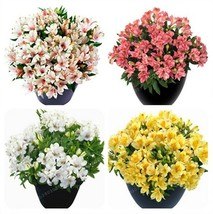 Super 100 Seeds 9 Kinds Peruvian Lily Flowers Bonsai Potted Alstroemeria Plants - $2.10