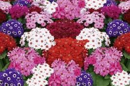 Cineraria mix Flower Seeds- 20 Pcs - $4.99