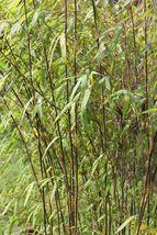 50 Fargesia sp Jiuzhaigou seeds Red Dragon Clumping bamboo USA SELLER - $9.98