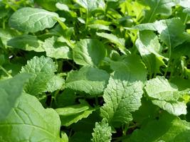 Mustard Seeds - Wasabi  - Outdoor Living - Vegetable Seeds - Free Shippng - $26.99+