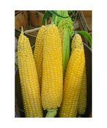 100 + Seeds, Incredible Yellow Sweet Corn #IMA4 - $16.99