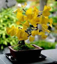 Organic 5 Ginkgo biloba gingko Maidenhair Tree seeds nuts Bonsai Tree grown from image 2