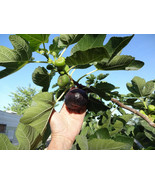 3 Cuttings of Black Mission Fig, Large Purple Fig Cuttings, Zone 7 to 10 - $14.73