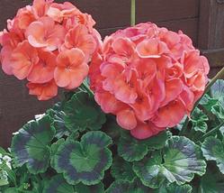 10pcs Very Graceful Geranium Bright & Coral orange Flowers Seeds IMA1 - $14.99
