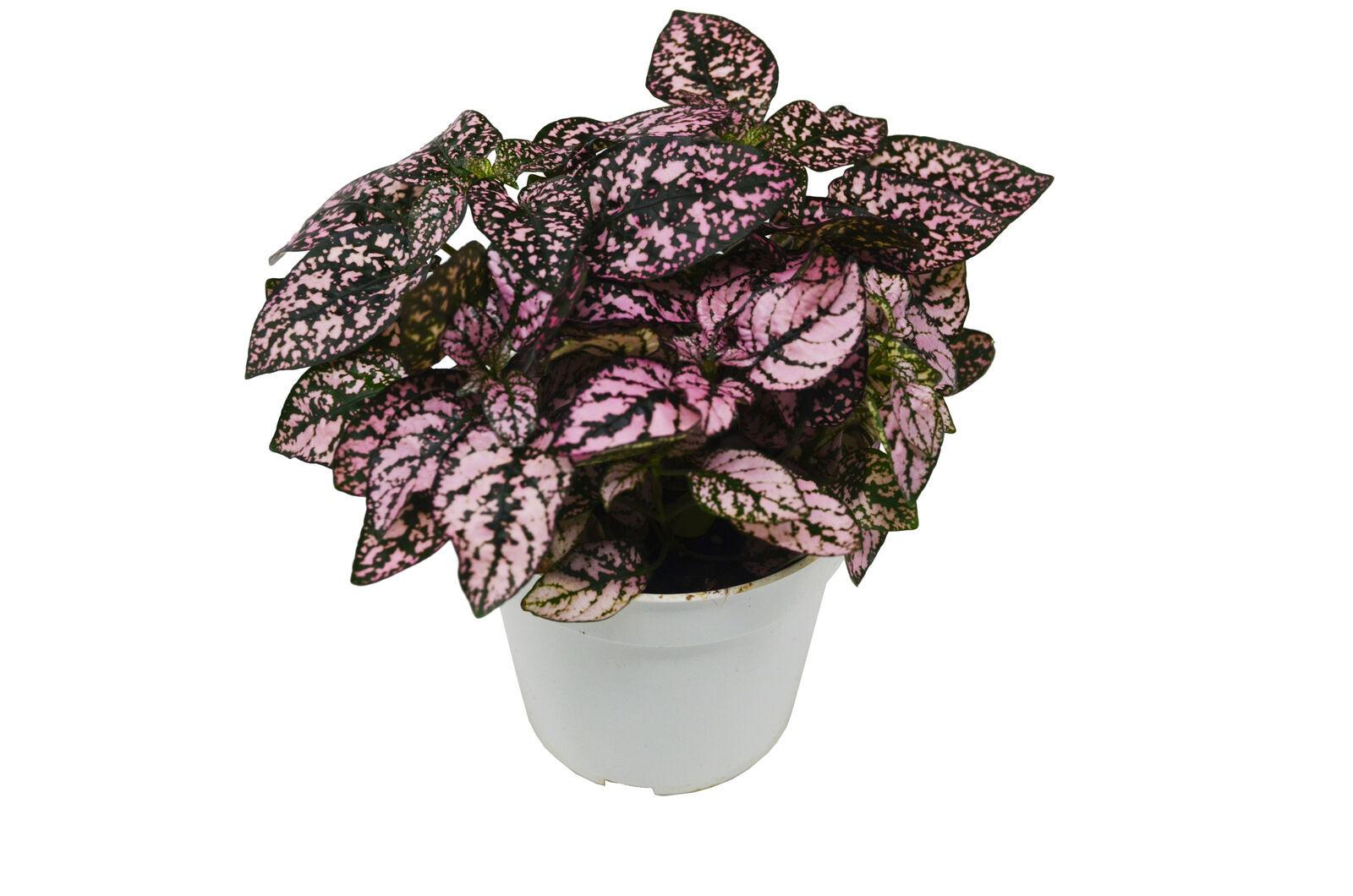"Hypoestes Pink (Polka Dot Plant) - 4"" Pot - Live Plant - Outdoor Living - D11 - $33.99"