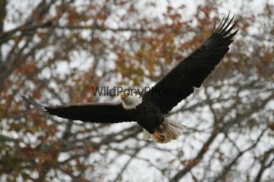 Primary image for Bald Eagle Close Flyover Photo - Various Sizes
