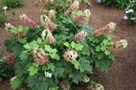 Oakleaf Hydrangea qt. pot old fashion oakleaf image 5