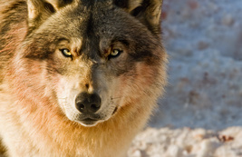 Wolf Animal Spirit Companion Guardian Knowledge and Respect  - $50.00