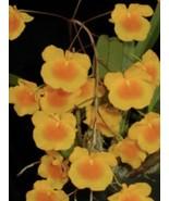 "Dendrobium aggregatum (lindleyi) Species Orchid Plant. 3"" Pot Blooming Size - $26.96"