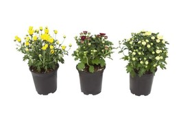 Set of 3 Chrysanthemum Live Plant Garden Patio Yard Balcony Ornamental F... - $23.27