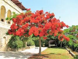 10 Royal Poinciana Tree Delonix Regia Aka Red Flame Flamboyant Tree Flower Seeds - $14.00