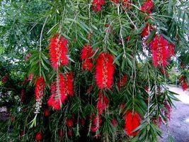 BOYETTE WEEPING Red Bottlebrush Tree Plant Flowers Attract Hummingbird B... - $48.99