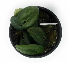 "1 Ling Ling Panda Face Ginger Asarum - Live Plant in 4"" Pot  #TFPN16 - $34.99"