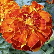 25 seeds of French Marigold Zenith Red Flower - $15.72