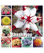 100 pcs/bag Real mini Euphorbia obesa flores, Mixed Cactus Succulents Pl... - $6.28