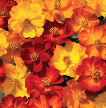 75 Pcs Mixed Cosmos Seeds, Fiery Sunset, Sulfur Cosmos, Shorter Variety,... - $13.99