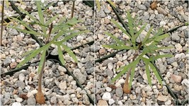 Live Plant - Bursera microphylla Elephant Tree Cactus Cacti Succulent Real - $135.99