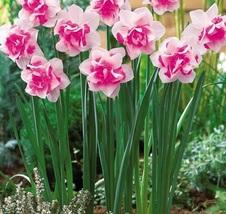 Best Price 50 Seeds Purple Daffodils Aquatic Plants,Diy Flower Seeds BD997H Dg - $5.39