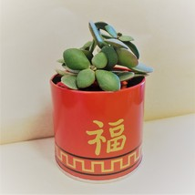 """Jade Plant in Red Gold Tin, 3"""" Planter Succulent Crassula ovata Chinese New Year image 7"""