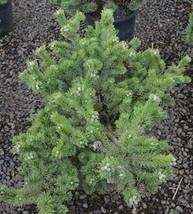 1 Starter Plant of Pinus Mugo (1040 Broom) - $219.78