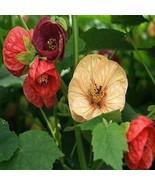SHIP FROM USA Abutilon Bellevue Mix Flower Seeds (Abutilon Hybridum) 100+Seeds U - $34.93