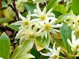10 Seeds of Illicium Verum - Star Anise - $15.83