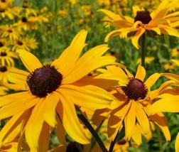 BLACK EYED SUSAN Rudbeckia Hirta - 1,000 Seeds - $14.25
