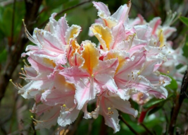 20 Pcs Seeds Rhododendron Occidentale Western Azalea Shrub Flower - DL - $14.00