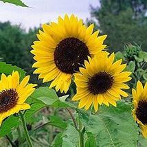Non GMO Bulk Mammoth Grey Stripe Sunflower Seeds- Helianthus annuus (1 Lb) - $32.62