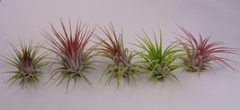 10 Assorted Tillandsia Ionantha ,Rare Air plants - Us seller Fast shipping - $19.70