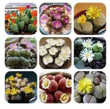 60 Seeds, 9 Types Mix Lithops Plants, Nice Pebble Living Stones Succulent - €8,46 EUR