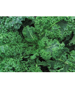 SHIP From US, 1000 Seeds Blue Curled Vates Scotch Kale, DIY Healthy Vege... - $60.99
