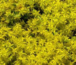 20 Seeds Sedum Yellow Stonecrop Sedum Ellacombianum, DIY Decorative Plant ov04 - $9.31