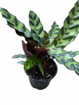 "4"" Pot - Rattlesnake Plant - Calathea Lancifolia - Living Room - Houseplant - $71.99"